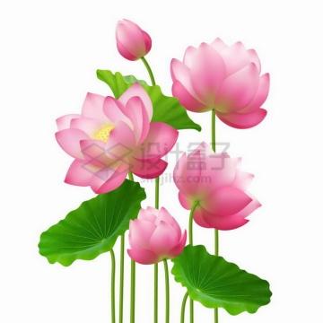 盛开的荷花莲花和绿油油的荷叶鲜花花卉花朵png图片素材