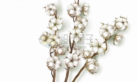 枝头上的棉花花朵png图片免抠矢量素材