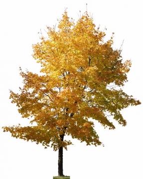 秋天枯黄叶子的大树588029png图片素材