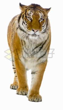 飞机耳的老虎东北虎西伯利亚虎png图片素材