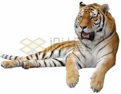 趴地上哈气的老虎孟加拉虎png图片素材