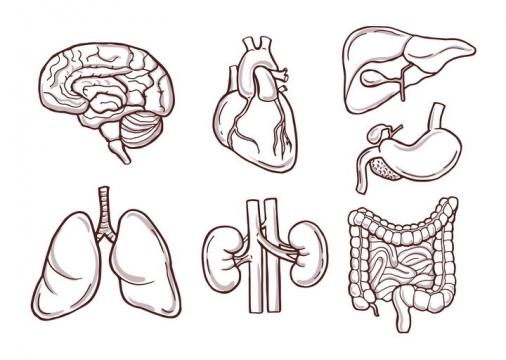 7种人体器官素描图心脏大脑肠胃等免抠矢量图片素材
