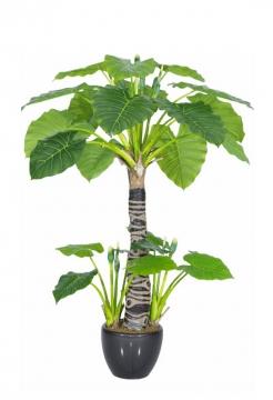 巴西木盆栽植物103042png图片素材