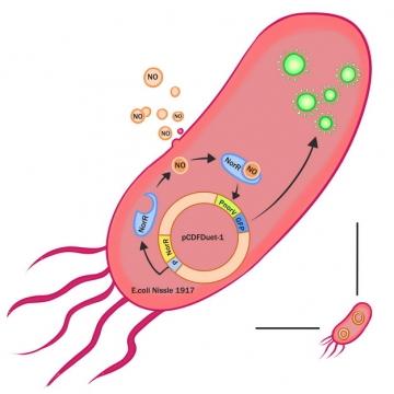 大肠杆菌内部结构彩色插图976981png图片素材