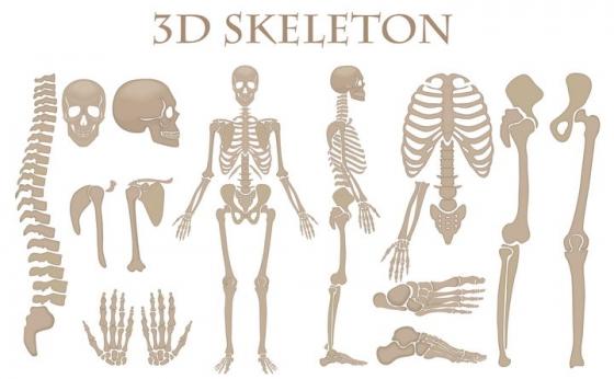 人体骨架器官组织人体骨骼结构图图片免抠素材