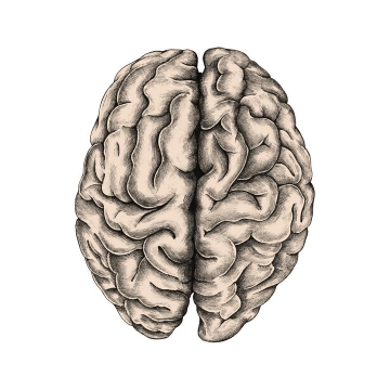 灰白色的人体大脑组织免抠矢量图片素材