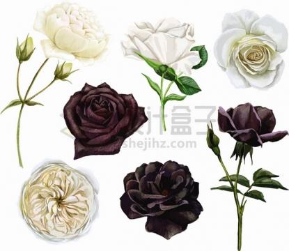 白玫瑰黑玫瑰鲜花花朵花卉png图片素材