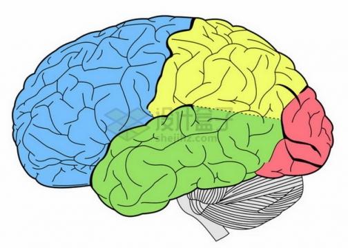 分成4种颜色的人体大脑图案png图片素材