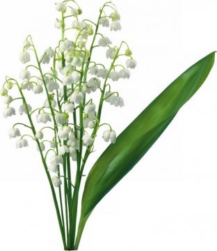 铃兰花白色小花朵350374png图片素材
