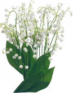 铃兰花白色小花朵394875png图片素材