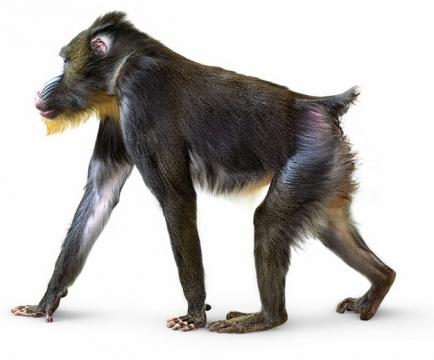 水猴子山魈116844png图片素材