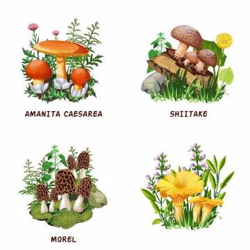 白橙盖鹅膏菌香菇羊肚菌等蘑菇美味美食png图片免抠矢量素材
