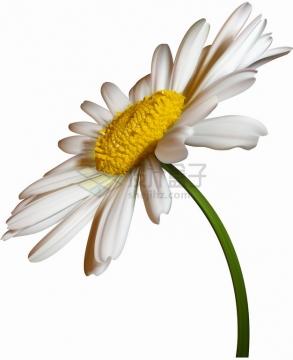 一朵逼真的雏菊鲜花花朵花卉特写png图片素材