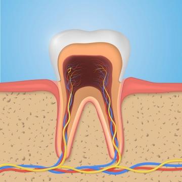 牙齿神经系统人体组织结构解剖示意图图片免抠素材