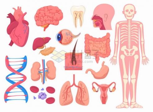 心脏大脑DNA肾脏肺部胃部大肠消化系统等人体器官组织png图片素材