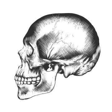 黑色素描风格骷髅头侧面像人体器官组织免扣图片素材