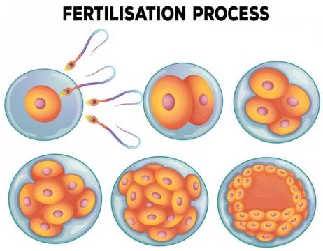 从精子进入卵子到细胞分裂发育成胚胎的过程中学生物教学图片免抠素材