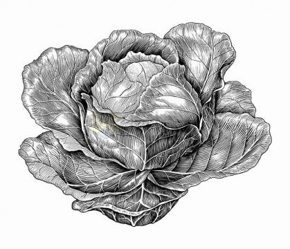 包菜美味蔬菜手绘素描插画png图片免抠矢量素材