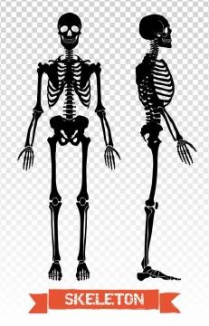 黑色正面侧面人体骨骼解剖图骷髅骨架医学人体结构图片免扣素材