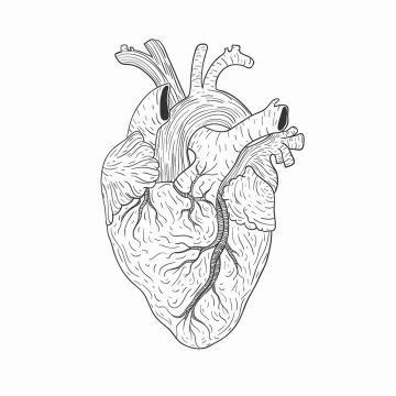 手绘线条风格人体心脏器官图片免抠素材