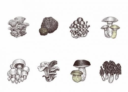 各种手绘风格平菇白黄侧耳香菇羊肚菌大白口蘑松口蘑金针菇等蘑菇美味美食png图片免抠矢量素材