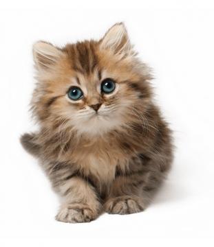 超可爱的小猫咪幼猫长毛猫幼崽180859png图片素材