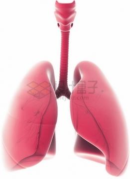 粉红色的人体肺部器官组织png图片素材