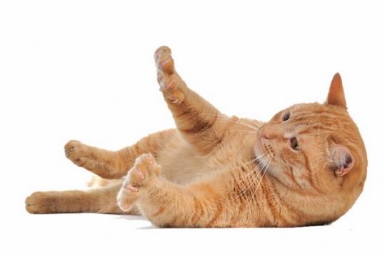 躺地上玩耍的橘猫中华田园猫518245png图片素材