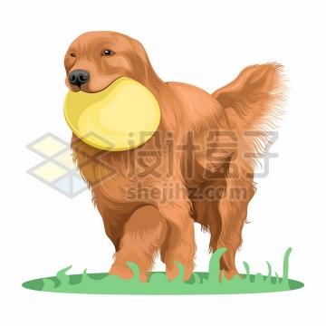 叼着飞盘的金毛犬狗狗宠物狗彩绘插画png图片免抠矢量素材