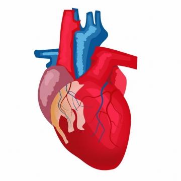 红色动脉蓝色静脉心脏解剖手绘插画496576免抠图片