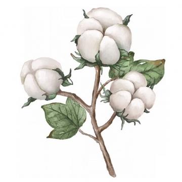 枝头上盛开的三朵棉花835592png免抠图片素材