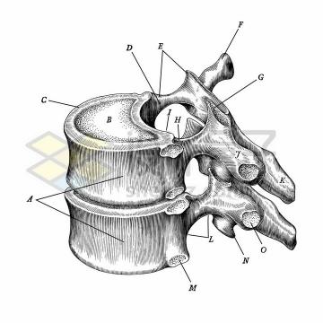 带标注的胸椎骨侧视图人体骨骼解剖图手绘素描插画png图片免抠矢量素材