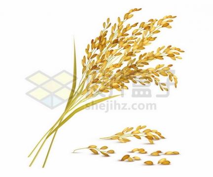 逼真的金黄色稻谷稻穗稻米大丰收636699png图片素材