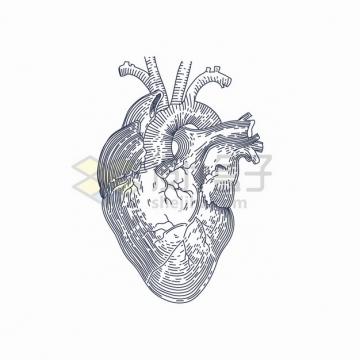 线条手绘风格人体心脏器官解剖图png图片素材