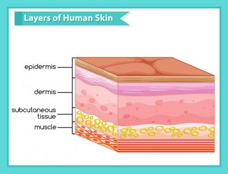 皮肤分层结构解剖示意图中学生物教学图片免抠素材