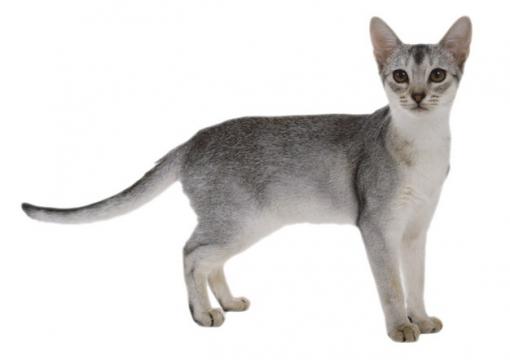 灰色的猫咪俄罗斯蓝猫742676png图片素材
