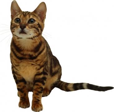 可爱的狸花猫虎斑猫413182png图片素材
