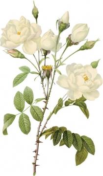 枝头上盛开的白玫瑰鲜花548823png图片素材