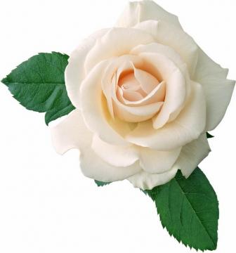 高清白玫瑰花鲜花764390png图片素材