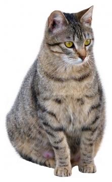 坐在的小母猫狸花猫中华田园猫939835png图片素材