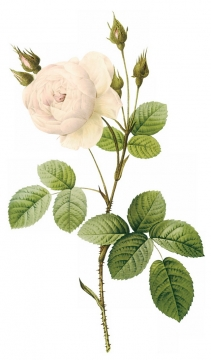 白玫瑰花鲜花带叶子和花苞7649041png图片素材
