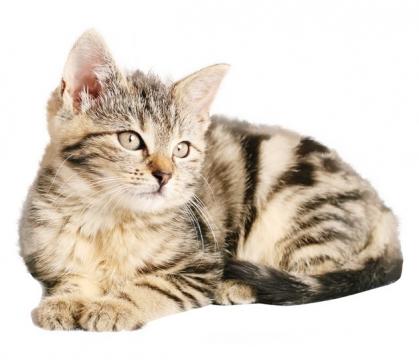 超可爱的美国短毛猫523803png图片素材