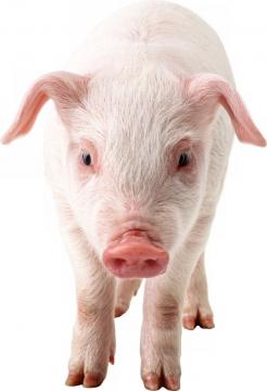 可爱的家猪小猪大白猪719564png图片素材
