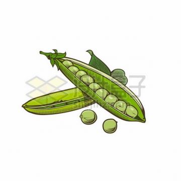 豆荚中的豌豆绿豆毛豆等青豆子彩绘插画949858png图片素材