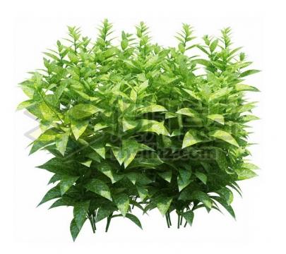 绿色植物观赏植物绿萝882508psd/png图片素材