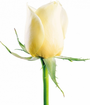 一朵绽开的黄玫瑰花鲜花淡黄色花朵988012png图片素材