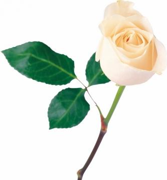 一朵淡黄色的黄玫瑰鲜花874301png图片素材