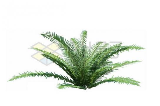 裸子植物铁树苏铁382422psd/png图片素材