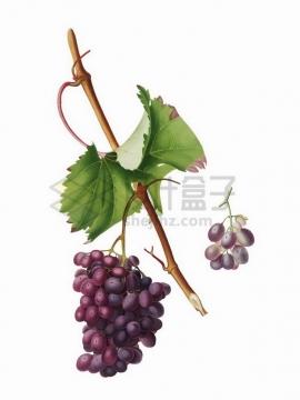树枝上的紫色葡萄提子526279png矢量图片素材