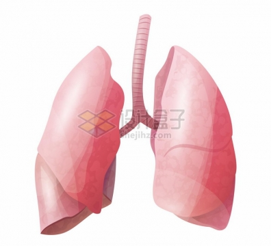 肺部人体器官组织png图片免抠矢量素材